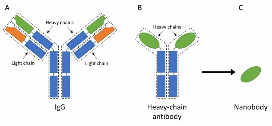 Figure 2. A) IgG is a fairly large and complex protein that consists of four different chains; two heavy-chains and two light chains. These chains are further divided into constant regions (blue) and variable regions (orange on the light chains and green on the heavy chains). B) A heavy-chain antibody only consists of two heavy-chains, but it still has constant (blue) and variable regions (green). C) From the heavy-chain antibody, it is possible to isolate the variable region, which then is known as a single-domain antibody or nanobody.