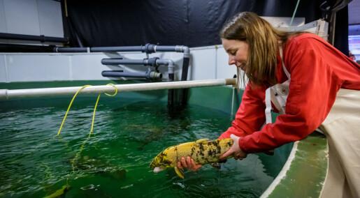 Controversial CRISPR-method used to make farmed salmon sterile