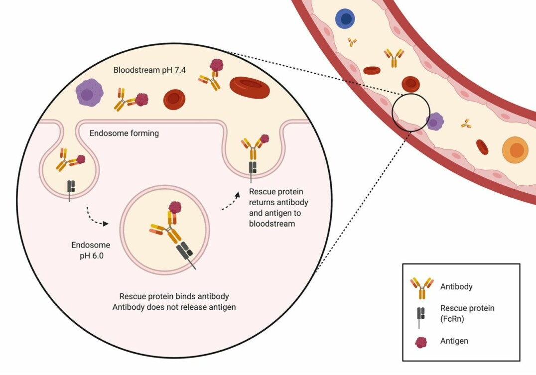 The figure shows the mechanism of antibody recycling using the rescue protein FcRn.