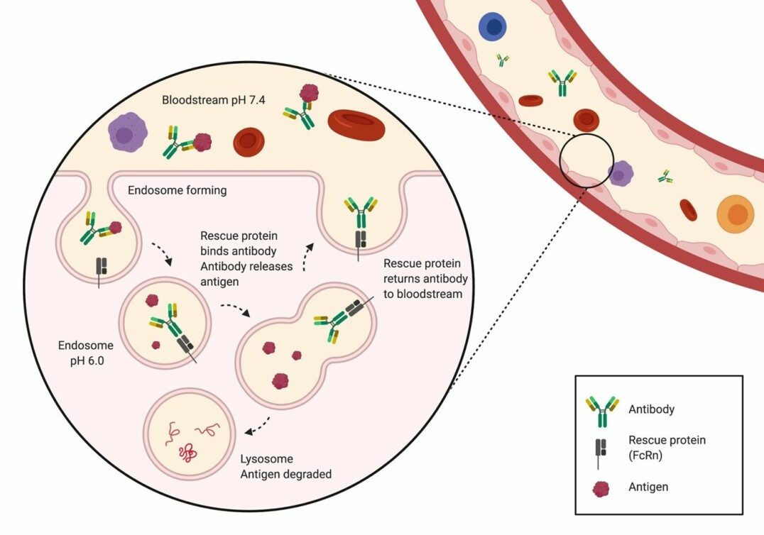 The figure shows antibodies being rescued after having released the antigen in the endosome. The antigen is then transported to the lysosome, where it is degraded.