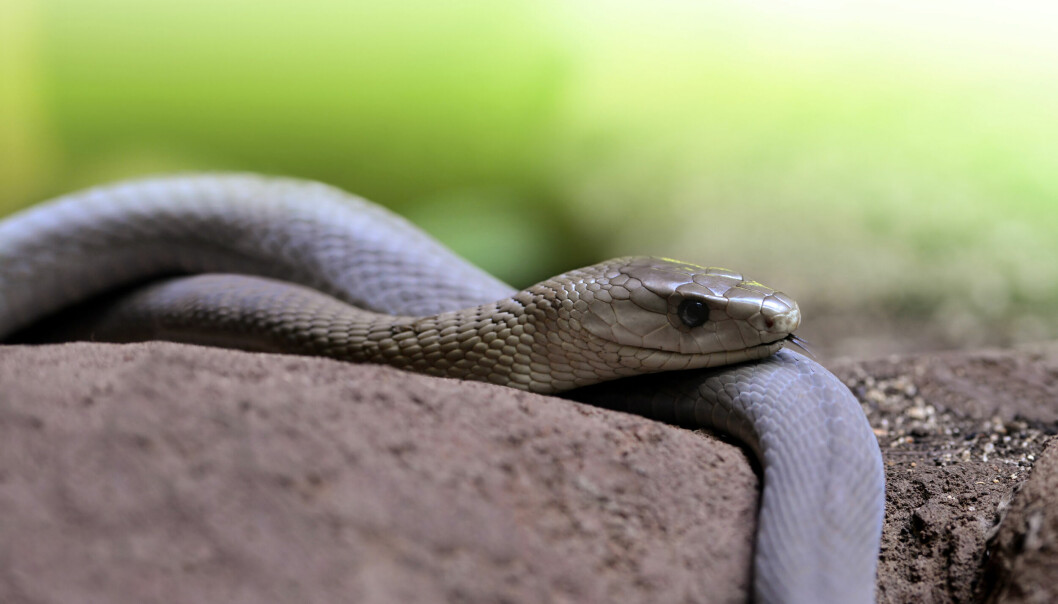 Scientists have discovered how venom from black mamba snakes (pictured) and cobras bind to nerve cells. The same toxins can be used to develop antidotes.