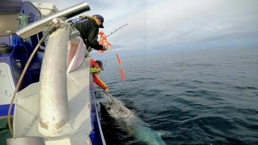 Researchers tracked a bluefin tuna's 15 000 kilometre swim across the Atlantic and back